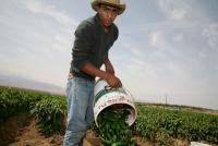 Migrant indigenous Mixtec farmworkers from Oaxaca pick jalapeo chiles. 1999 David Bacon 